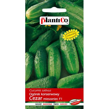 Nasiona ogórka konserwowego Cezar